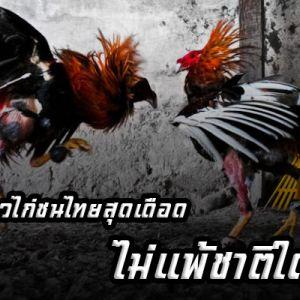 เผยเรื่องราวไก่ชนไทยสุดเดือด ไม่แพ้ชาติใดในโลก!